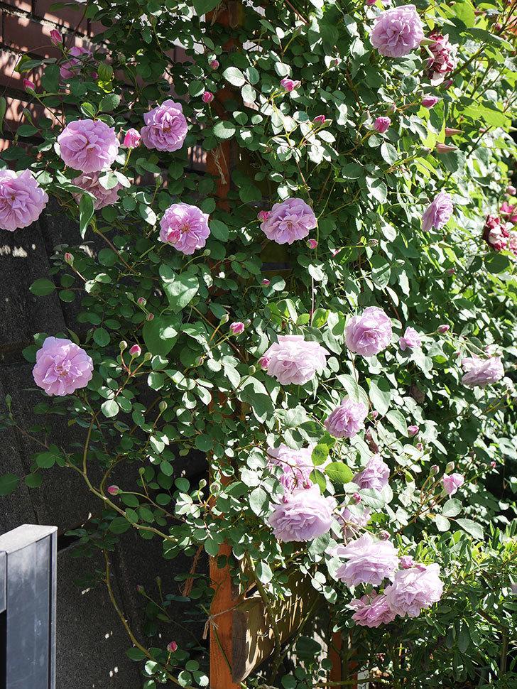レイニーブルー(Rainy Blue)の花が良い感じになってきた。ツルバラ。2021年-051.jpg