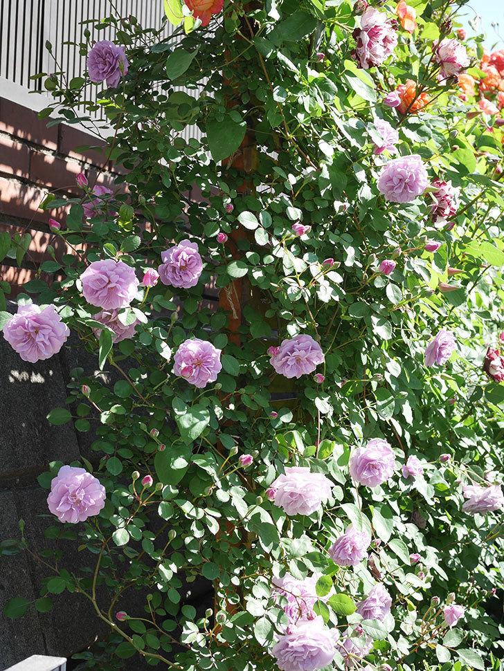 レイニーブルー(Rainy Blue)の花が良い感じになってきた。ツルバラ。2021年-053.jpg