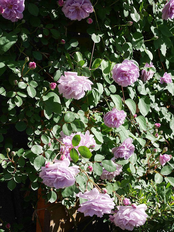 レイニーブルー(Rainy Blue)の花が良い感じになってきた。ツルバラ。2021年-054.jpg