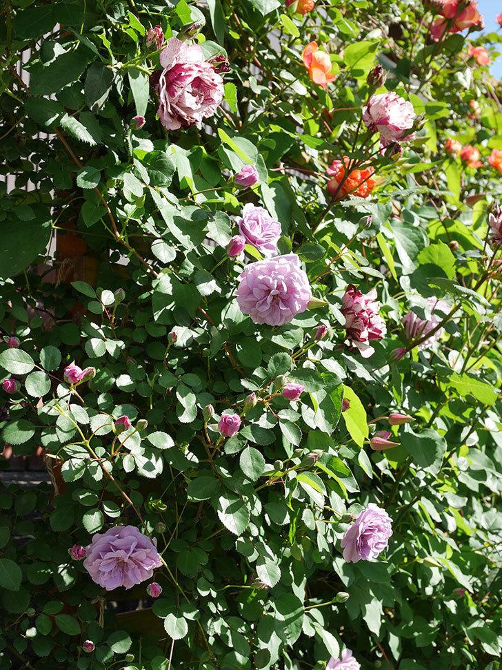 レイニーブルー(Rainy Blue)の花が良い感じになってきた。ツルバラ。2021年-055.jpg