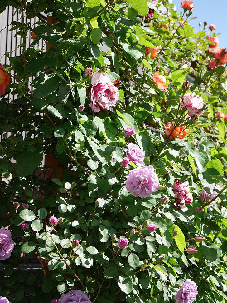 レイニーブルー(Rainy Blue)の花が良い感じになってきた。ツルバラ。2021年-056.jpg