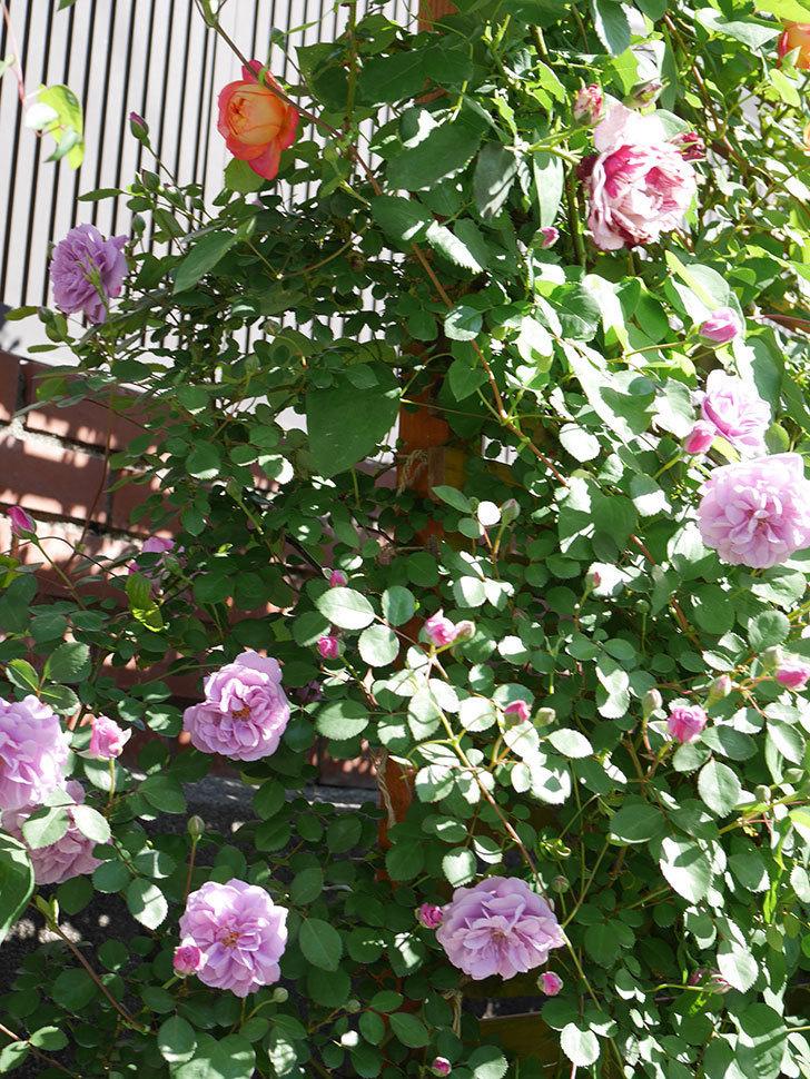 レイニーブルー(Rainy Blue)の花が良い感じになってきた。ツルバラ。2021年-057.jpg