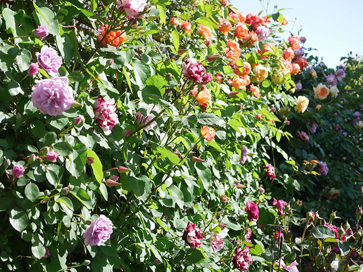 レイニーブルー(Rainy Blue)の花が良い感じになってきた。ツルバラ。2021年-058.jpg