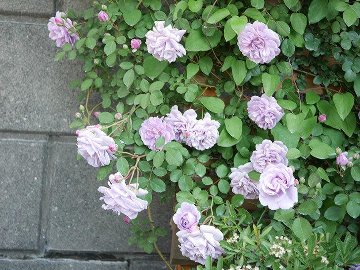 レイニーブルー(Rainy Blue)の花が良い感じになってきた。ツルバラ。2021年-059.jpg