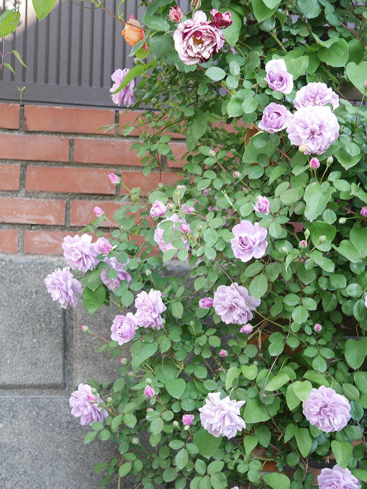 レイニーブルー(Rainy Blue)の花が良い感じになってきた。ツルバラ。2021年-060.jpg