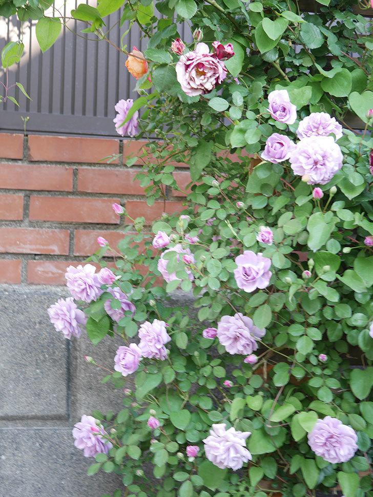 レイニーブルー(Rainy Blue)の花が良い感じになってきた。ツルバラ。2021年-061.jpg