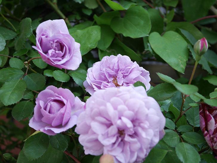 レイニーブルー(Rainy Blue)の花が良い感じになってきた。ツルバラ。2021年-062.jpg