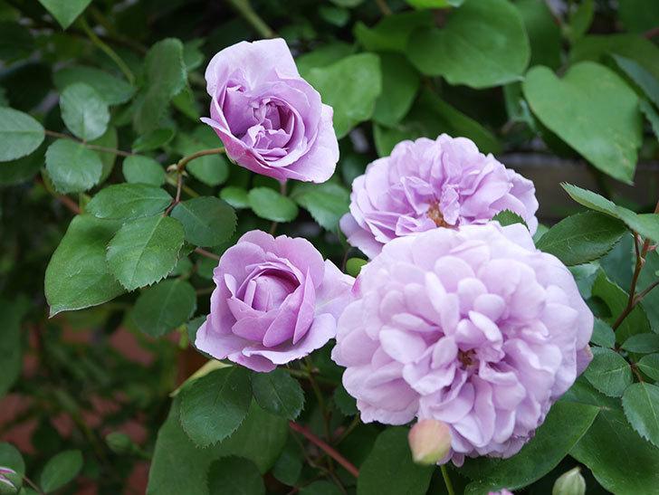 レイニーブルー(Rainy Blue)の花が良い感じになってきた。ツルバラ。2021年-063.jpg