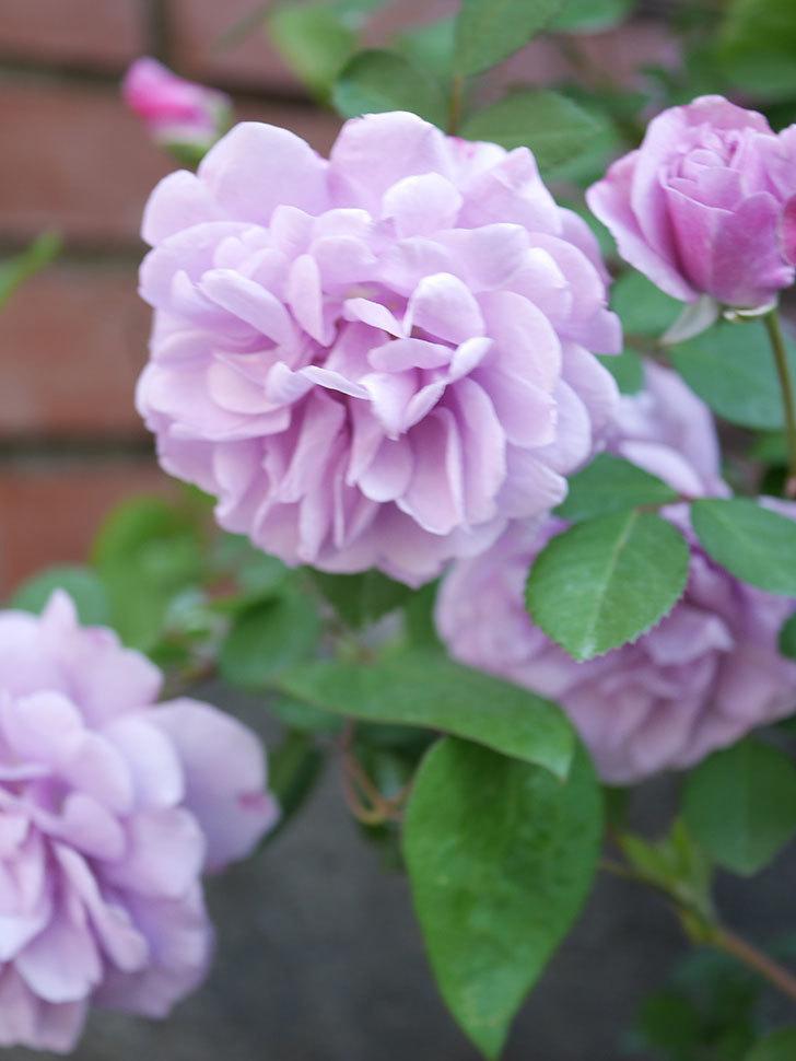 レイニーブルー(Rainy Blue)の花が良い感じになってきた。ツルバラ。2021年-065.jpg