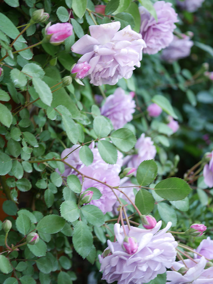 レイニーブルー(Rainy Blue)の花が良い感じになってきた。ツルバラ。2021年-068.jpg