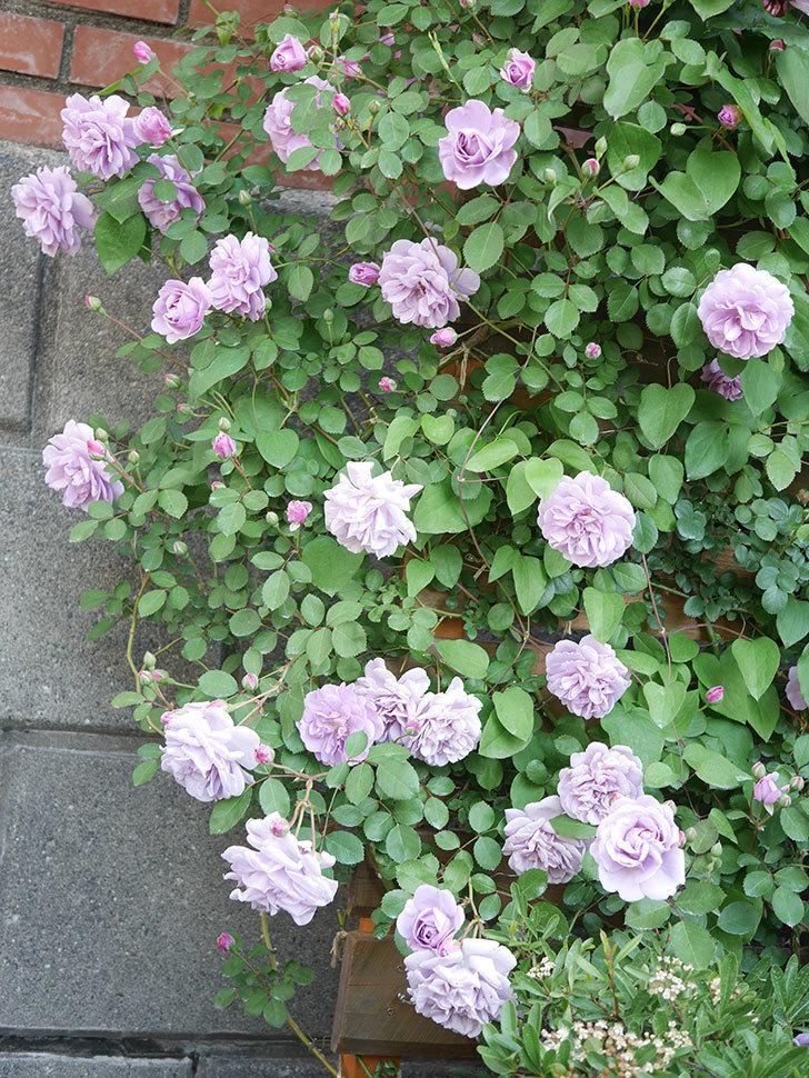 レイニーブルー(Rainy Blue)の花が良い感じになってきた。ツルバラ。2021年-070.jpg