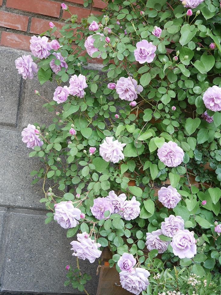 レイニーブルー(Rainy Blue)の花が良い感じになってきた。ツルバラ。2021年-071.jpg