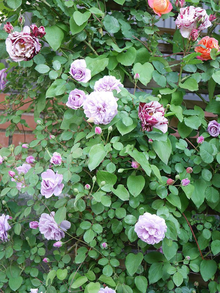 レイニーブルー(Rainy Blue)の花が良い感じになってきた。ツルバラ。2021年-072.jpg