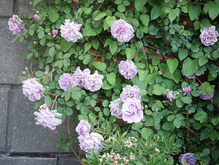 レイニーブルー(Rainy Blue)の花が良い感じになってきた。ツルバラ。2021年-073.jpg