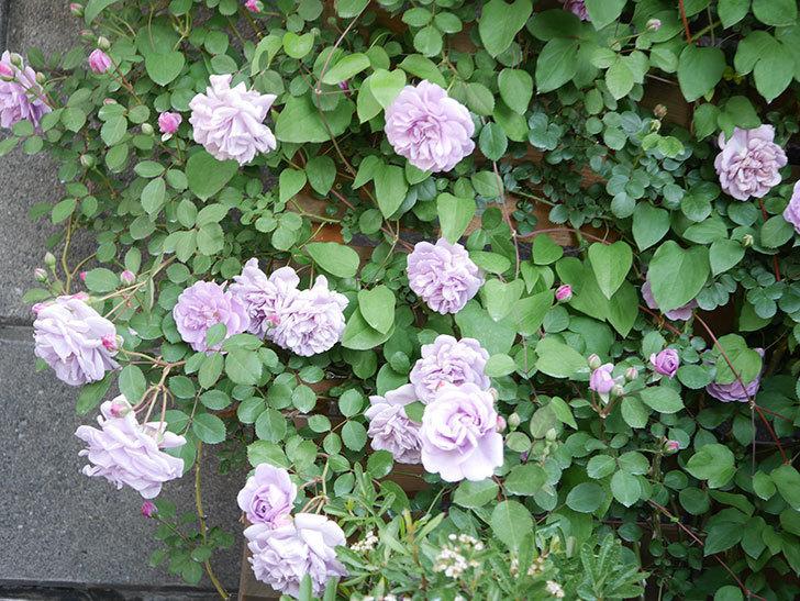 レイニーブルー(Rainy Blue)の花が良い感じになってきた。ツルバラ。2021年-074.jpg
