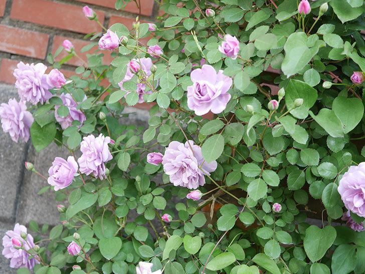 レイニーブルー(Rainy Blue)の花が良い感じになってきた。ツルバラ。2021年-075.jpg