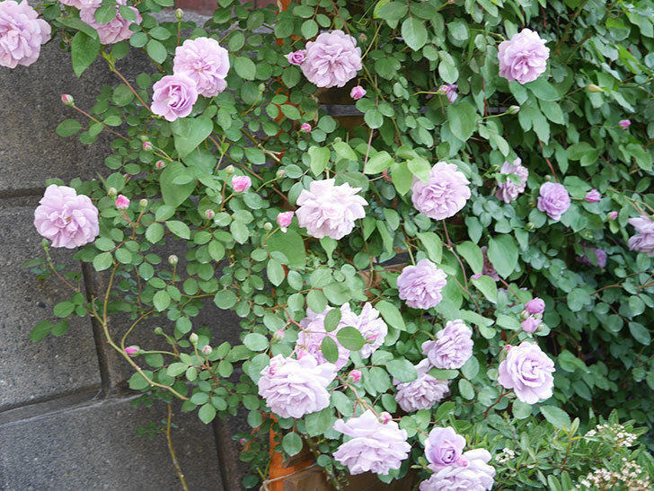 レイニーブルー(Rainy Blue)の花が良い感じになってきた。ツルバラ。2021年-076.jpg