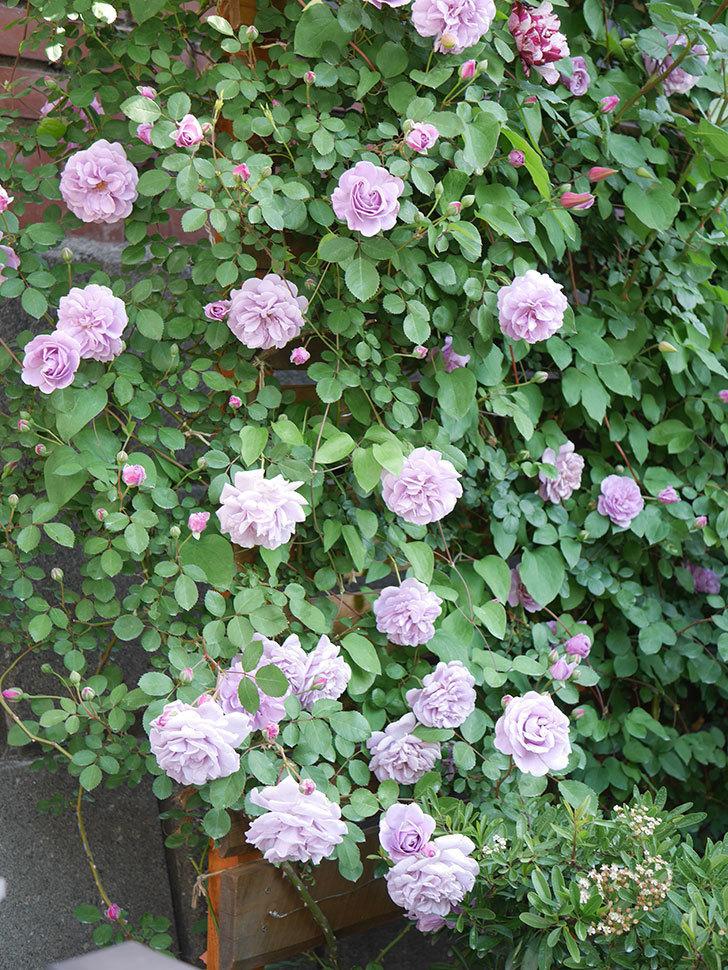 レイニーブルー(Rainy Blue)の花が良い感じになってきた。ツルバラ。2021年-077.jpg