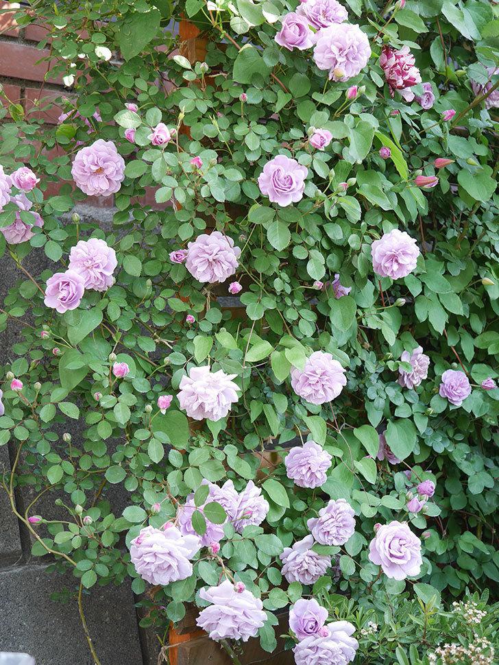 レイニーブルー(Rainy Blue)の花が良い感じになってきた。ツルバラ。2021年-078.jpg