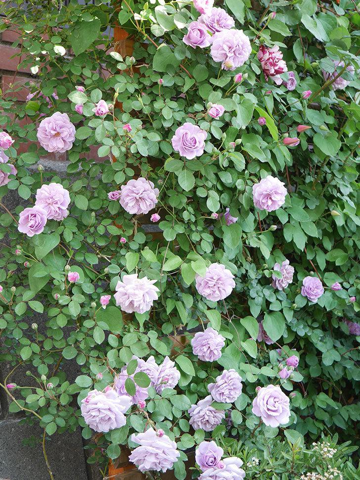 レイニーブルー(Rainy Blue)の花が良い感じになってきた。ツルバラ。2021年-079.jpg
