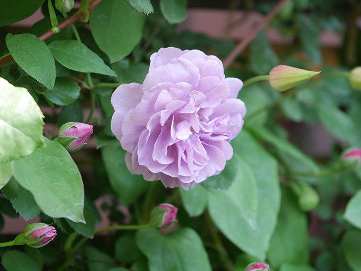 レイニーブルー(Rainy Blue)の花が良い感じになってきた。ツルバラ。2021年-081.jpg