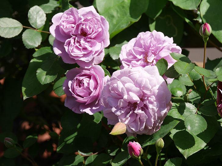 レイニーブルー(Rainy Blue)の花が良い感じになってきた。ツルバラ。2021年-082.jpg