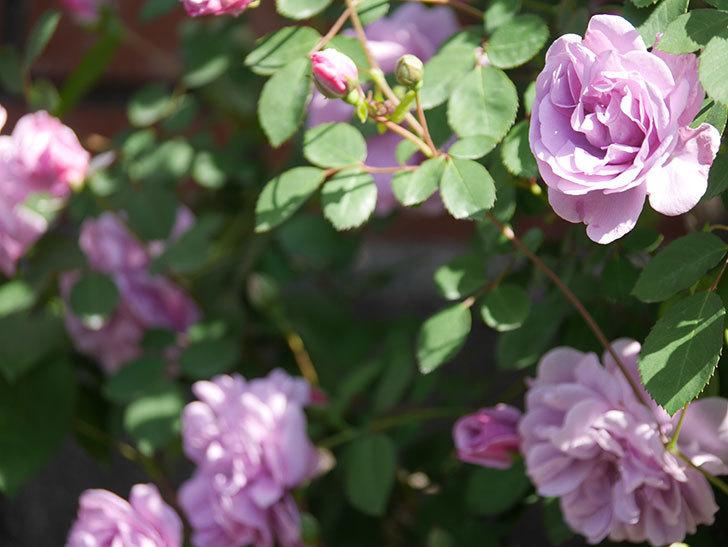 レイニーブルー(Rainy Blue)の花が良い感じになってきた。ツルバラ。2021年-084.jpg