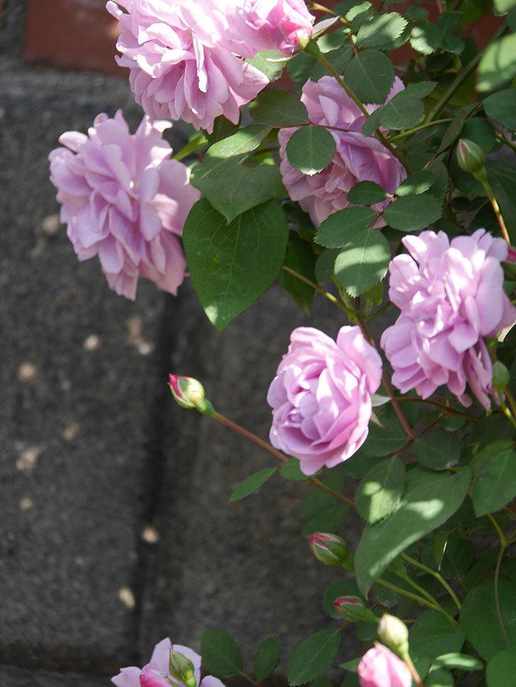 レイニーブルー(Rainy Blue)の花が良い感じになってきた。ツルバラ。2021年-085.jpg