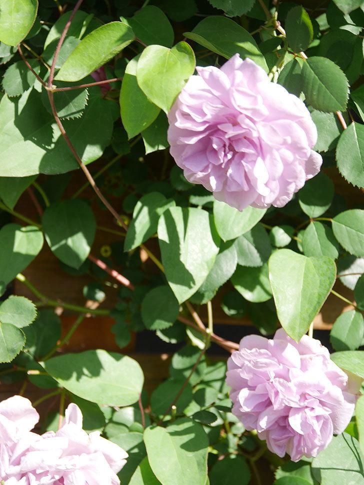 レイニーブルー(Rainy Blue)の花が良い感じになってきた。ツルバラ。2021年-087.jpg