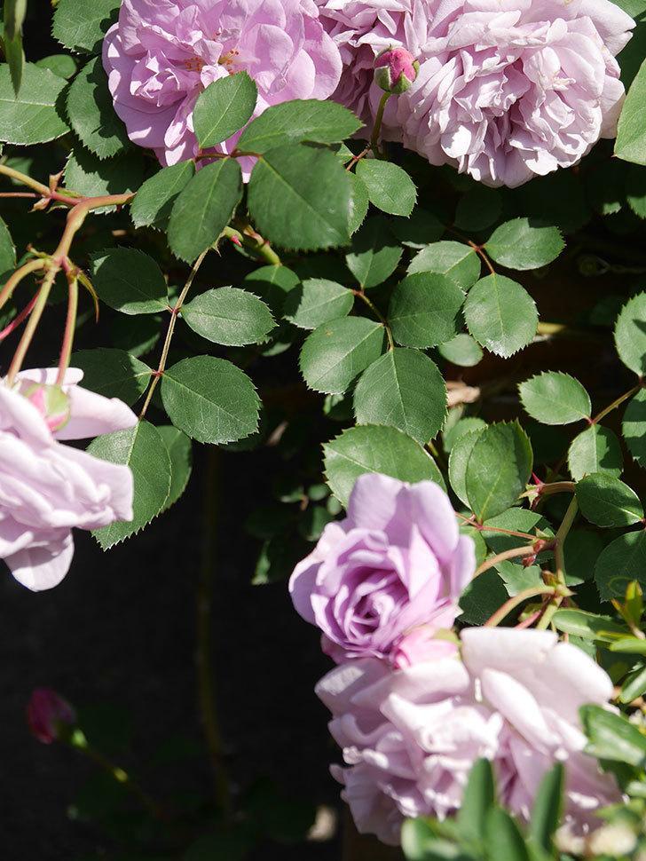 レイニーブルー(Rainy Blue)の花が良い感じになってきた。ツルバラ。2021年-088.jpg
