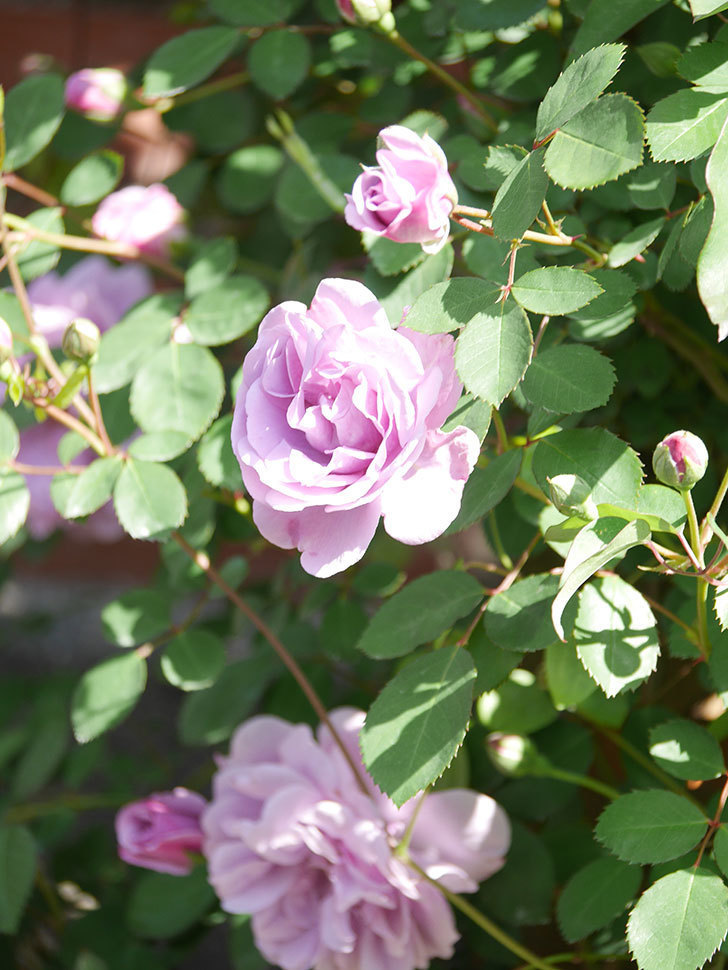 レイニーブルー(Rainy Blue)の花が良い感じになってきた。ツルバラ。2021年-089.jpg