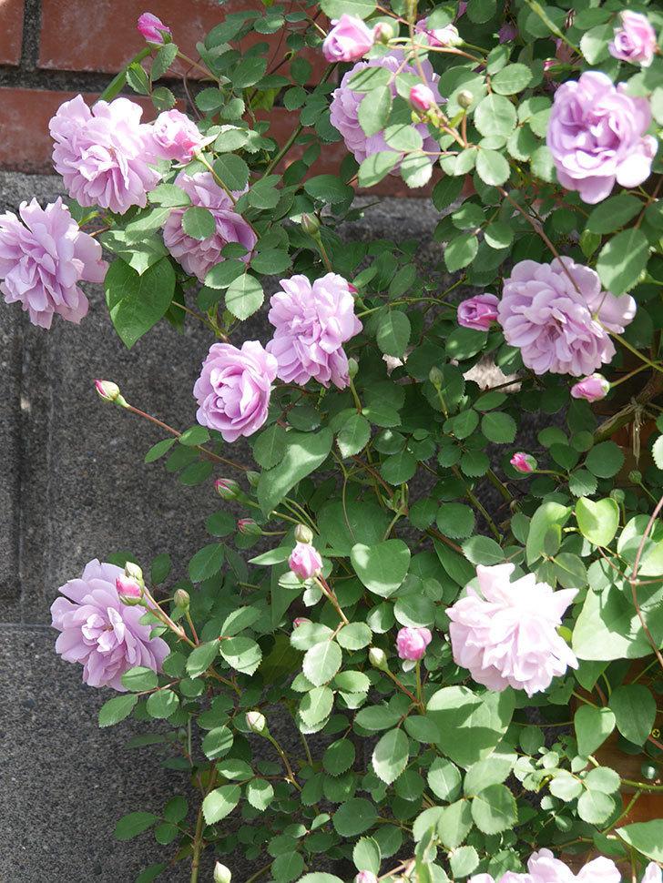 レイニーブルー(Rainy Blue)の花が良い感じになってきた。ツルバラ。2021年-092.jpg