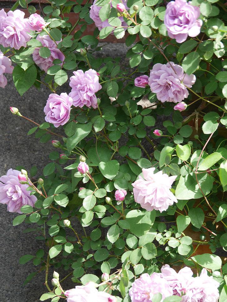 レイニーブルー(Rainy Blue)の花が良い感じになってきた。ツルバラ。2021年-093.jpg