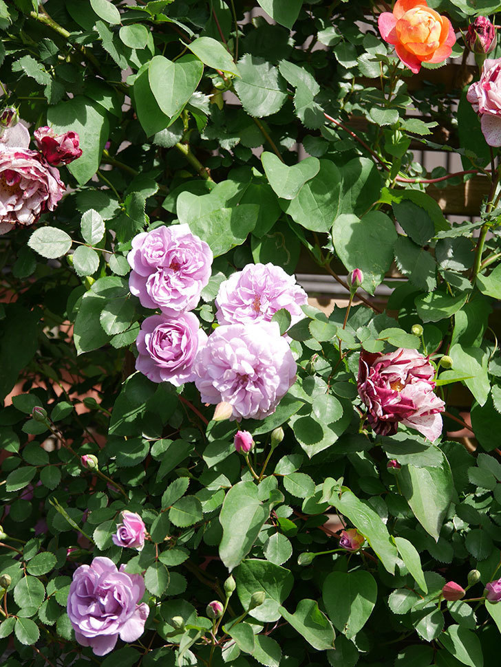 レイニーブルー(Rainy Blue)の花が良い感じになってきた。ツルバラ。2021年-094.jpg