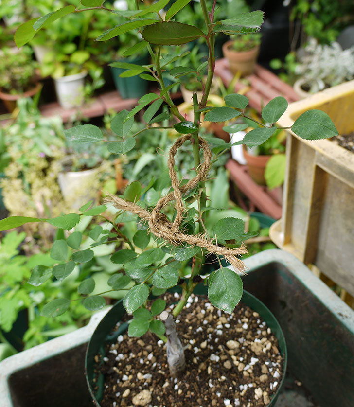 レイニーブルー(ツルバラ)の新苗を6号のロングスリット鉢に植えた。2016年-1.jpg