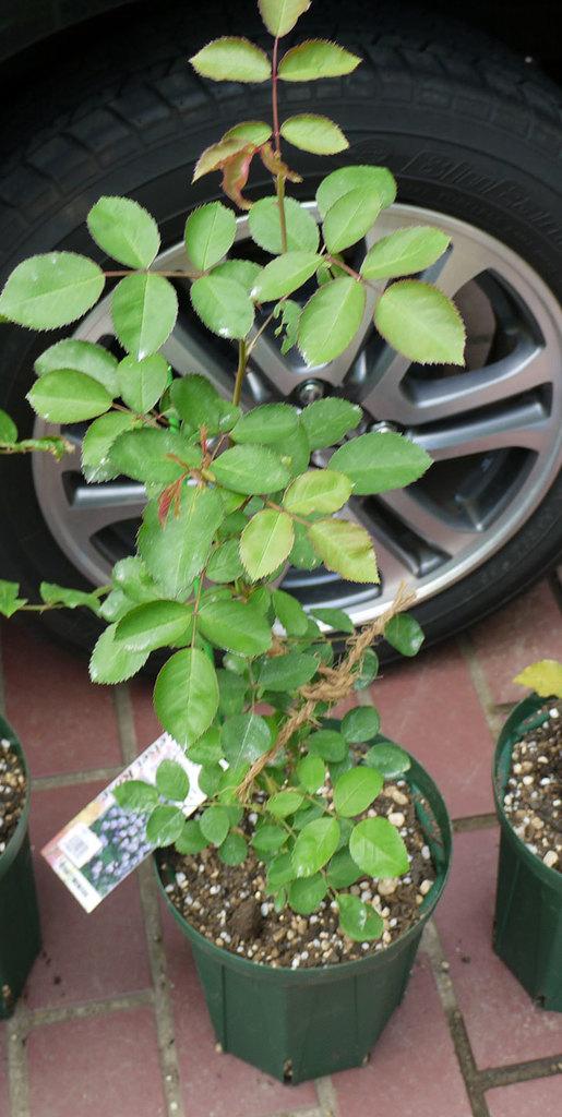 レイニーブルー(ツルバラ)の新苗を6号のロングスリット鉢に植えた。2016年-3.jpg
