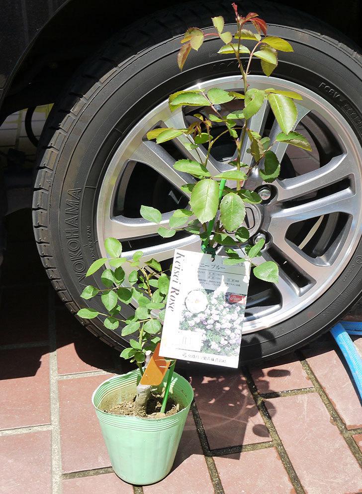 レイニーブルー(ツルバラ)の新苗をケイヨーデイツーで買って来た。2016年-1.jpg