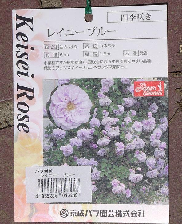 レイニーブルー(ツルバラ)の新苗をケイヨーデイツーで買って来た。2016年-3.jpg