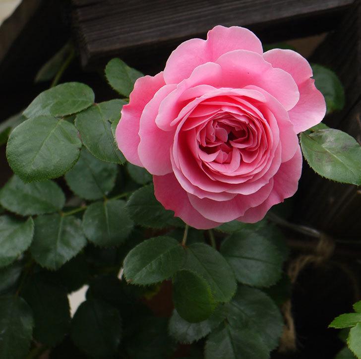 レオナルド・ダ・ヴィンチ(ツルバラ)が咲いた。2017年-1.jpg
