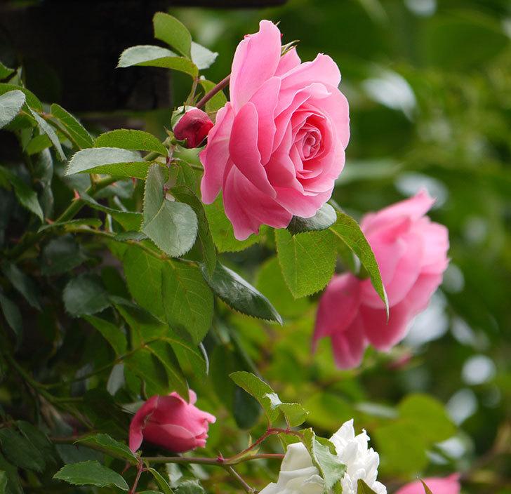 レオナルド・ダ・ヴィンチ(ツルバラ)が咲いた。2017年-2.jpg