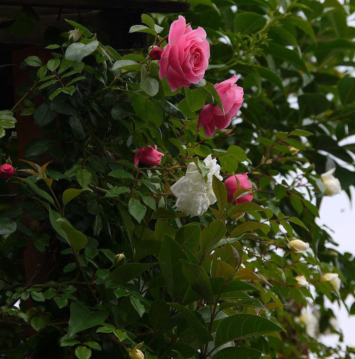 レオナルド・ダ・ヴィンチ(ツルバラ)が咲いた。2017年-3.jpg