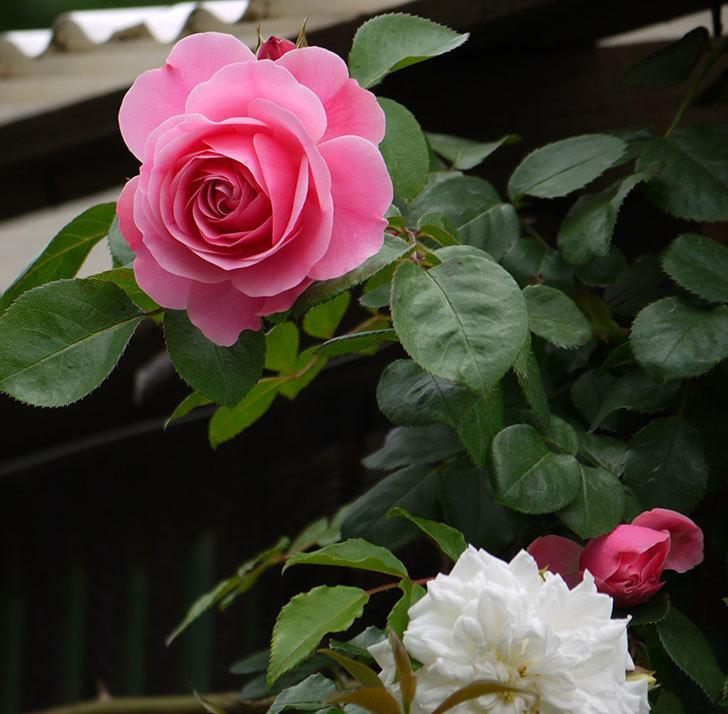 レオナルド・ダ・ヴィンチ(ツルバラ)が咲いた。2017年-4.jpg