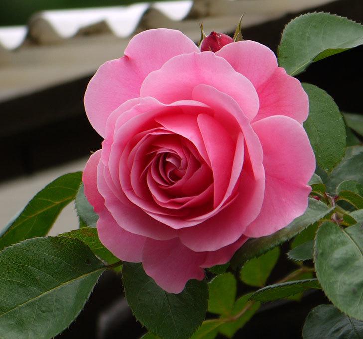 レオナルド・ダ・ヴィンチ(ツルバラ)が咲いた。2017年-5.jpg