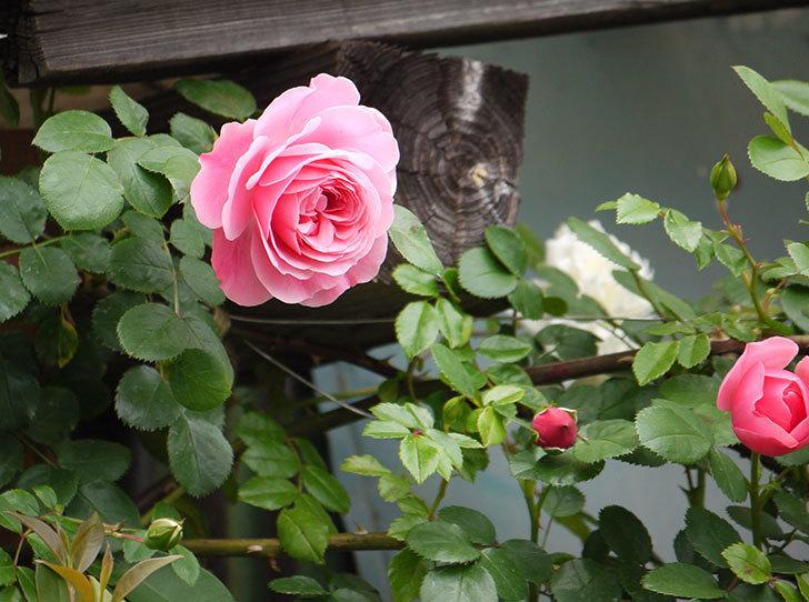 レオナルド・ダ・ヴィンチ(ツルバラ)が咲いた。2017年-6.jpg