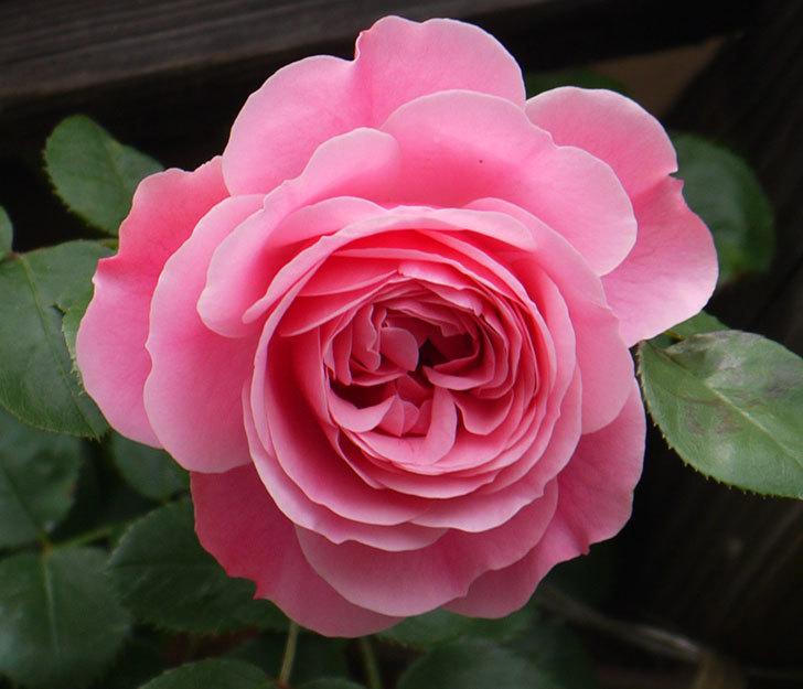 レオナルド・ダ・ヴィンチ(ツルバラ)が咲いた。2017年-7.jpg