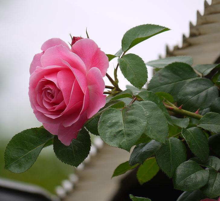 レオナルド・ダ・ヴィンチ(ツルバラ)が咲いた。2017年-8.jpg
