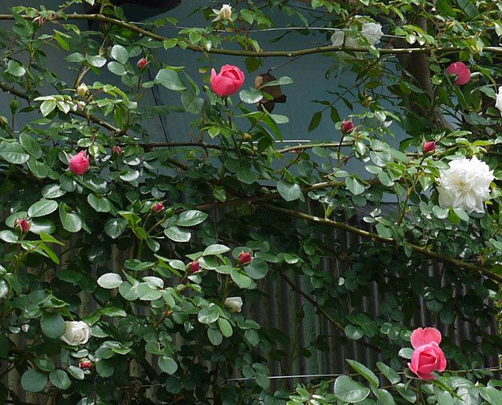 レオナルド・ダ・ヴィンチ(ツルバラ)が咲いた。2017年-9.jpg
