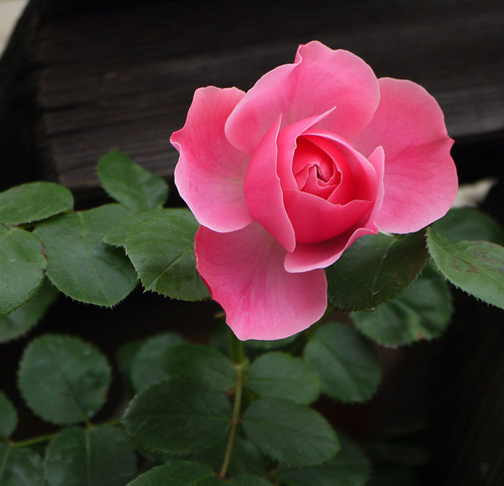 レオナルド・ダ・ヴィンチ(ツルバラ)が咲きだした。2017年-1.jpg