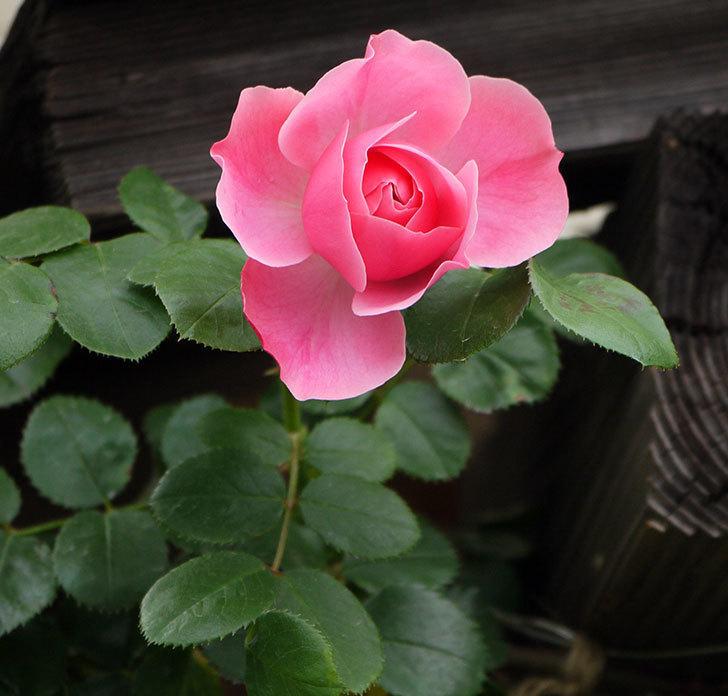 レオナルド・ダ・ヴィンチ(ツルバラ)が咲きだした。2017年-2.jpg