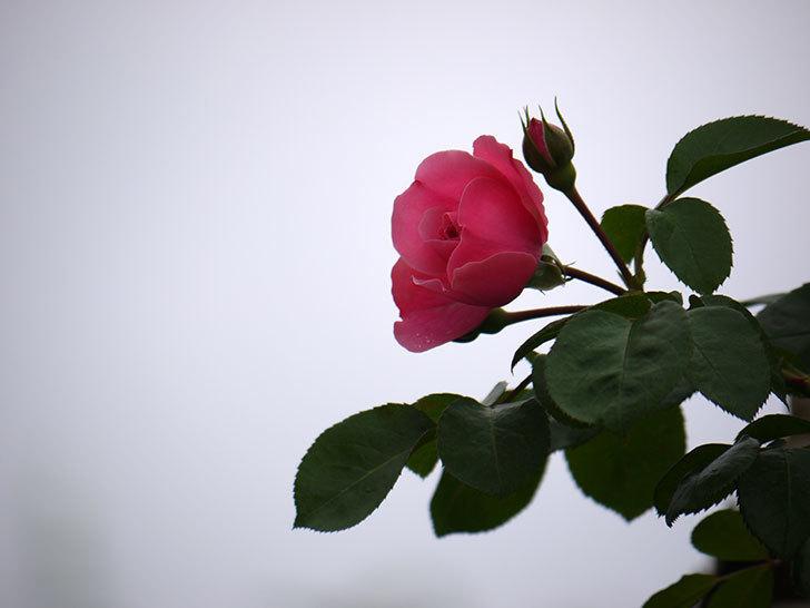 レオナルド・ダ・ヴィンチ(ツルバラ)が咲きだした。2017年-3.jpg
